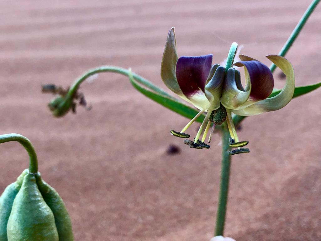 Beautiful flowers bloom in Elim dune in Sossusvlei.