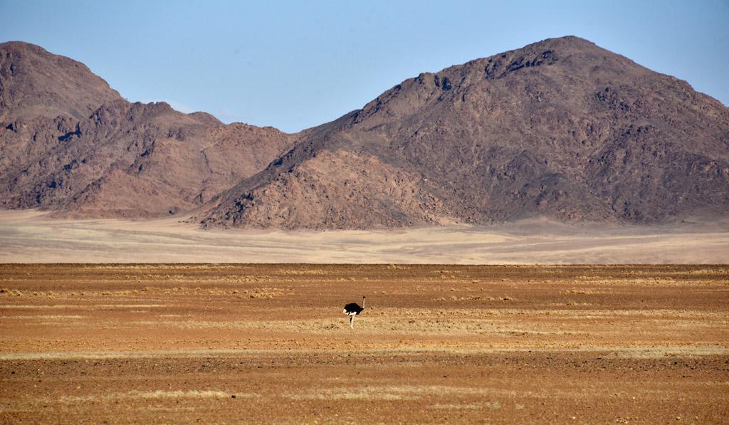 A lone Ostrich in Namib desert.