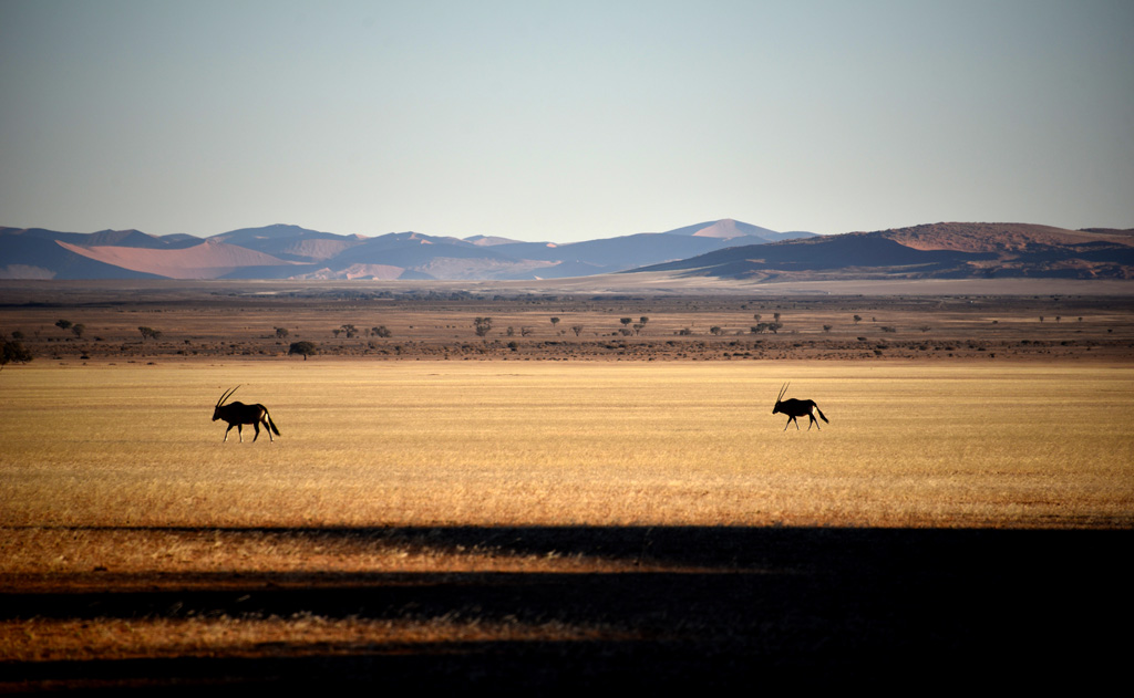 An Onyx herd roamed the flat grasslands by Elim Dune in Namib-Naukluft National Park.