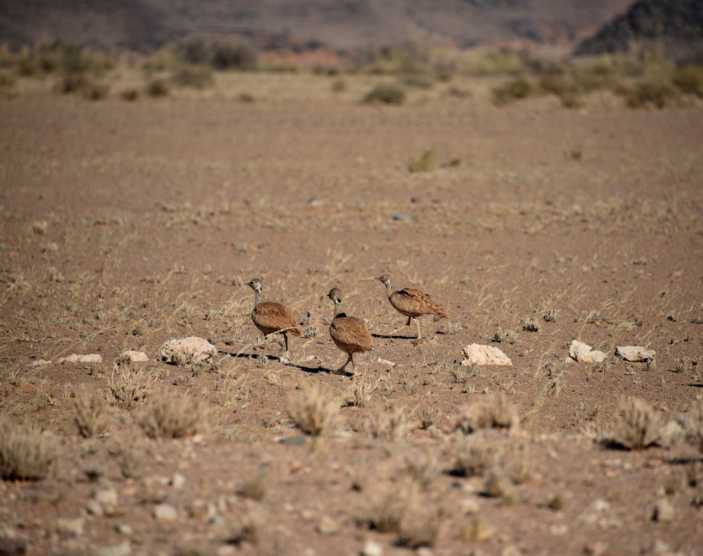 Little Karoo Korhaan birds are easy to miss because their colors match the desert browns.