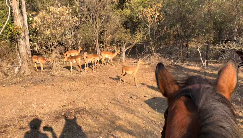 A group of impalas on our horseback safari in Victoria falls national park.