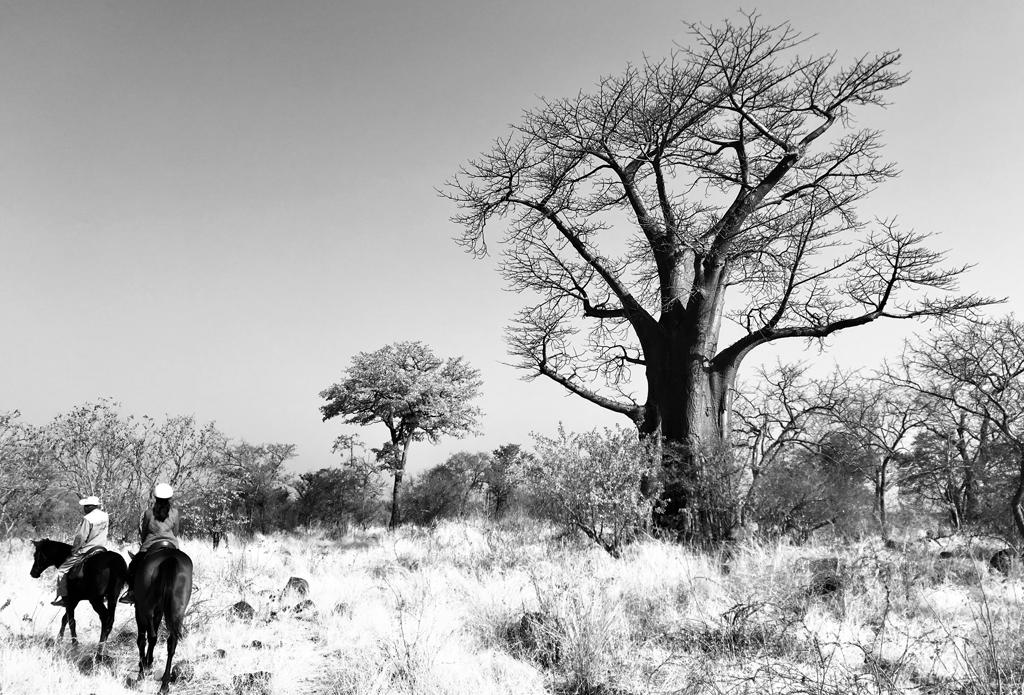 Baobab Tree in Victoria Falls National Park along Zambezi river