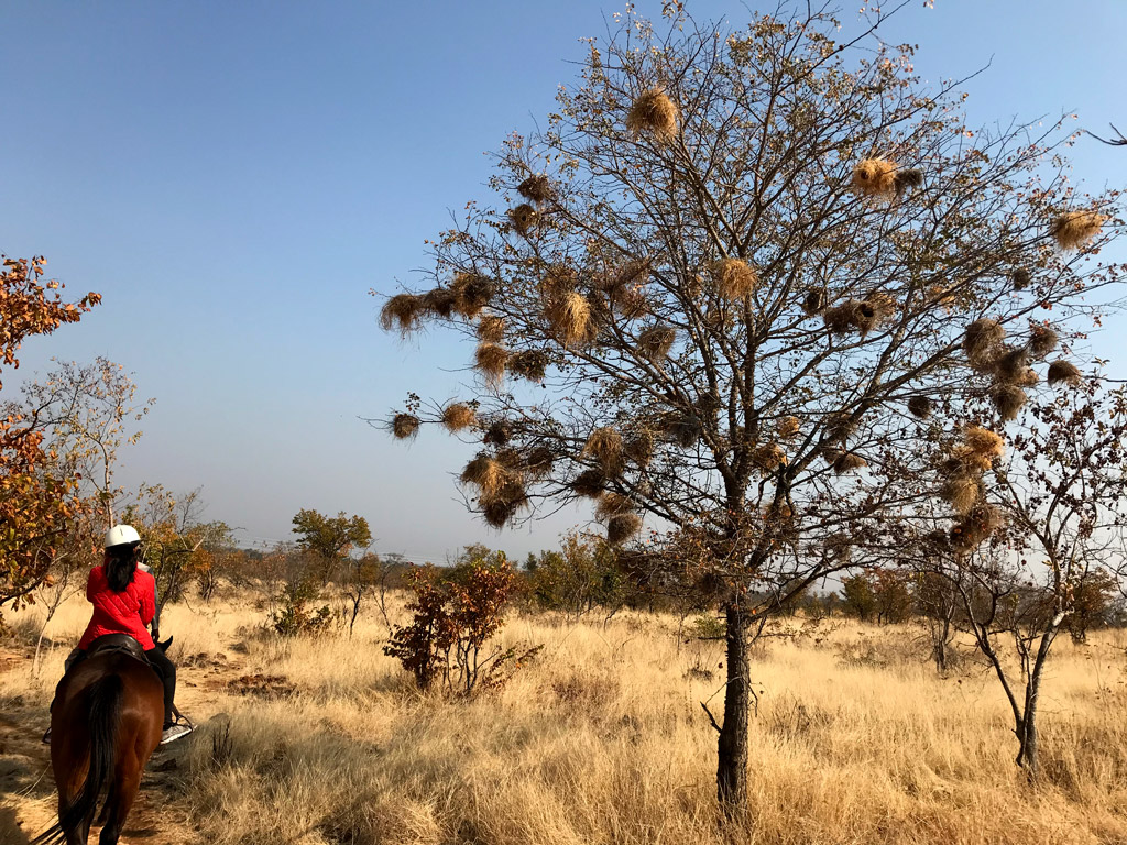 There were several trees loaded with African weaver bird nests during our horseback safari in Victoria Falls National Park in Zambia.