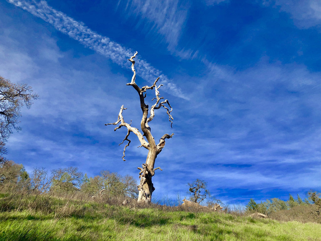 Beautiful trees in Henry W Coe state park make for gorgeous works of art.
