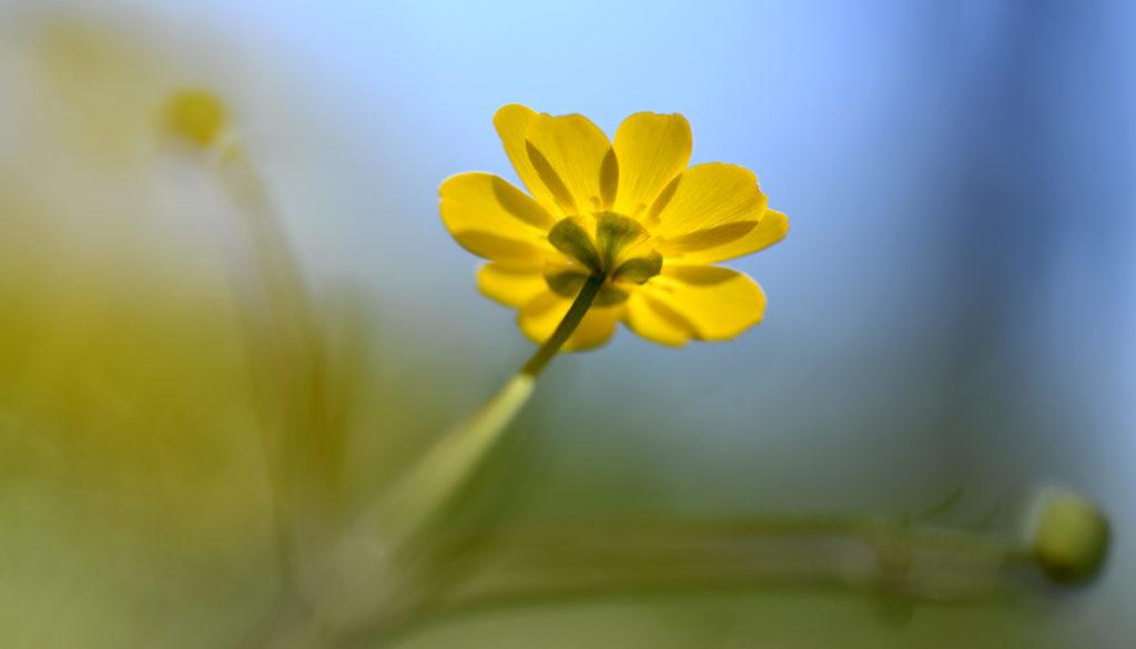 yellow-wildflower-1165x665